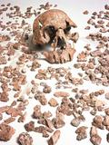 Hominid Fossil Skull 1470