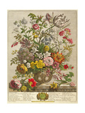 May, from 'twelve Months of Flowers' by Robert Furber (C.1674-1756) Engraved by Henry Fletcher Giclee Print