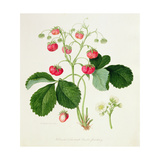 Wilmot's Cocks-Comb Scarlet Strawberry, 1820
