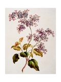 Scotch Lilac, Published 1793