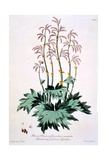 Rhubarb with Pointed Hand Shaped Leaves, Illustration from 'The British Herbalist', March 1770