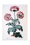 Garden Poppy with Black Seeds, Illustration from 'The British Herbalist', Published March 1770