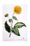 Sunflower with Large Jagged Leaves, Illustration from 'The British Herbalist', Published March 1770