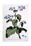 Borage with Blue Flowers, Illustration from 'The British Herbalist', March 1770