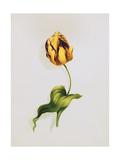 A Parrot Tulip