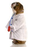 Bulldog Doctor