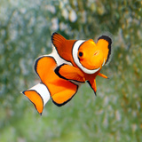 Buy Tropical Reef Fish - Clownfish (Amphiprion Ocellaris) Macro With Shallow Dof at AllPosters.com