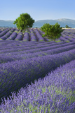 Rows of Lavender Along the Valensole Plateau, Provence, France