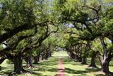300-Year-Old Oak Trees, Vacherie, New Orleans, Louisiana, USA