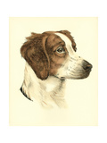 Danchin Brittany Spaniel