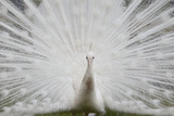 Portrait of a Leucistic Indian Peacock, Pavo Cristatus, with its Tail Feathers Spread