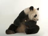 A Giant Panda, Ailuropoda Melanoleuca, at Zoo Atlanta