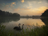 Black Swans Glide on the Lake at Ibirapuera Park in Sao Paulo at Sunrise