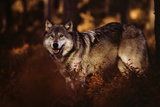 Buy Wolf Story at AllPosters.com