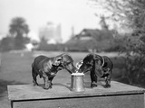 Two Dachshund Puppies Lapping Beer from Stein