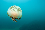 Buy Compass Jellyfish (Chrysaora Hysoscella) Swimming over a Rocky Reef, Plymouth, Devon, UK, August at AllPosters.com