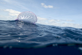 Buy Portuguese Man-Of-War (Physalia Physalis) on the Water Surface, Pico, Azores, Portugal, June 2009 at AllPosters.com