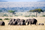 Herd of African Elephants (Loxodonta Africana) in Plains, Masai Mara National Reserve, Kenya