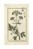 Lovage, Ligusticum Levisticum