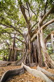 Buy Large Twisted Roots of a Moreton Bay Fig Tree (Banyan Tree) (Ficus Macrophylla) at AllPosters.com