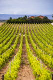 Buy Vineyard at a Winery Near Noto, South East Sicily, Italy, Europe at AllPosters.com
