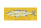 Buy Striped Bass at AllPosters.com