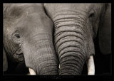 Calin d'Elephants Art Print