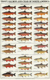Buy Trout, Salmon & Char of North America I at AllPosters.com