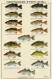 Buy Freshwater Bass of North America at AllPosters.com