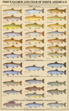 Buy Trout, Salmon & Char of North America II at AllPosters.com