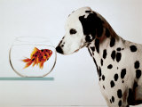Buy Dalmation Dog Looking at Dalmation Fish at AllPosters.com