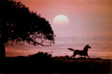 Running Horse At Sunset Poster