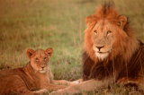 Lion &amp; Cub