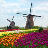 Two Dutch Windmills over  Tulips Field