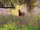 Thoroughbred Horse among Wildflowers in the Chittering Valley, Western Australia Photographic Print