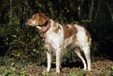 Brittany Spaniel with Bell around Neck
