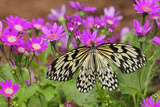 A Rice Paper Butterfly, Idea Leocone, Pollinating Pink Daisies
