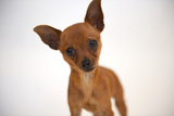 A Studio Portrait of Cinny, a Three Month-Old Chihuahua