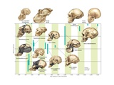 The Increase in Hominin Cranial Capacity Through Various Species over Time