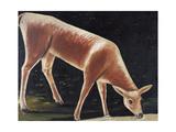 Roe Deer Drinking