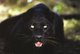 Black Panther Close Up