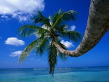Palm Tree and Caribbean Sea