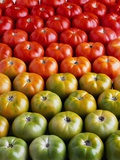 Red and Green Tomatoes Photographic Print