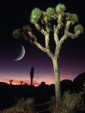 Crescent Moon and Joshua Tree
