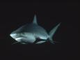 Bull Shark picture
