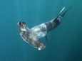 Hammerhead Shark picture