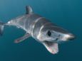 picture of a Shortfin Mako Shark