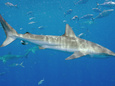 Dusky Shark (Carcharhinus Obscurus) picture