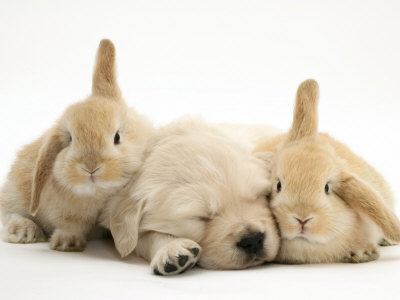 pictures of puppies sleeping. Golden Retriever Puppy Sleeping Between Two Young Sandy Lop Rabbits Premium