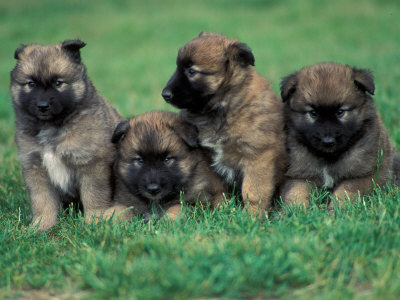 Malinois / Shepherd Dog